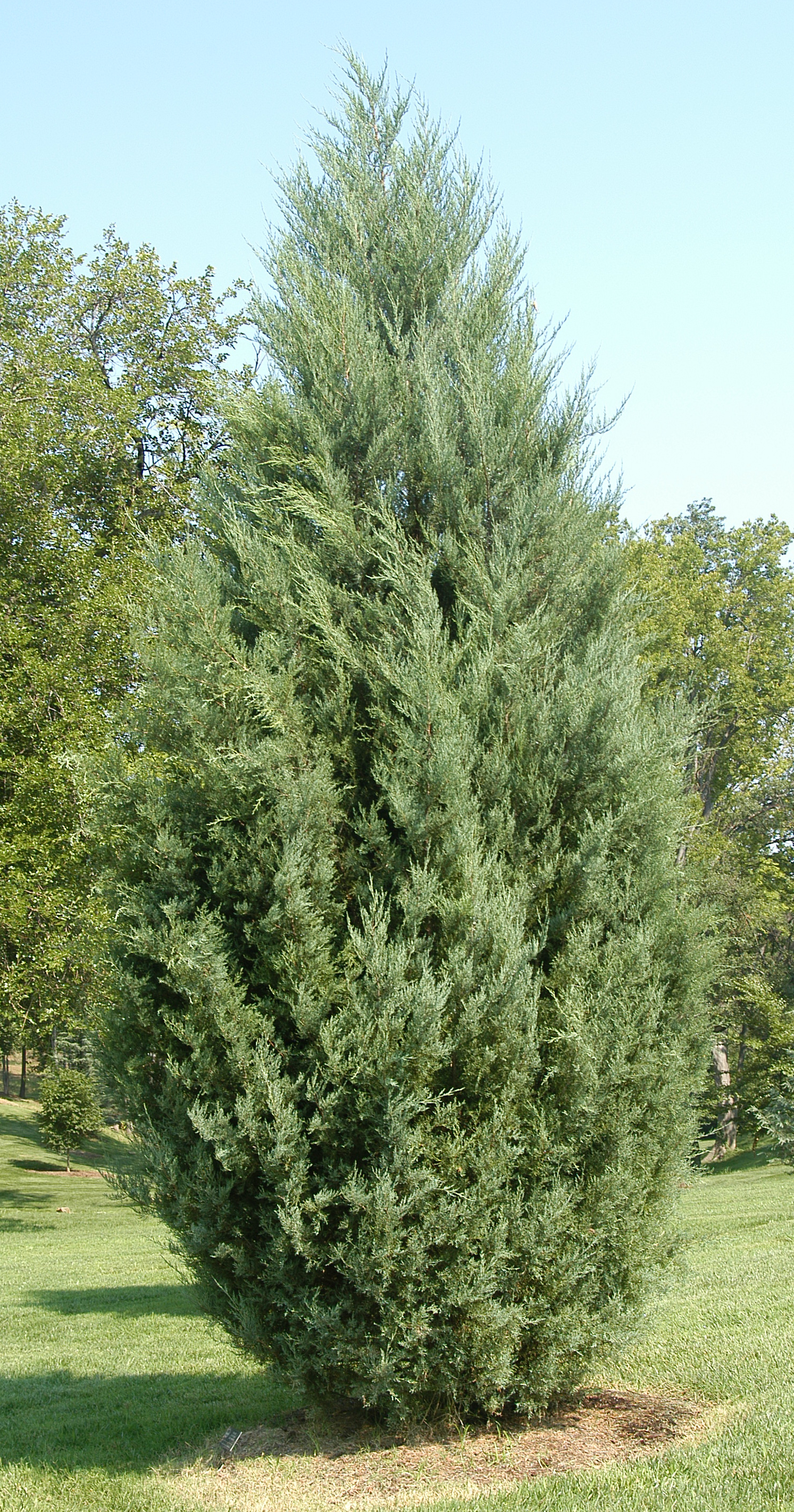 Juniperus virginiana eastern red cedar virginia juniper